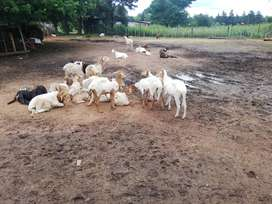 Sheep and goats for sale from R800 to R2500