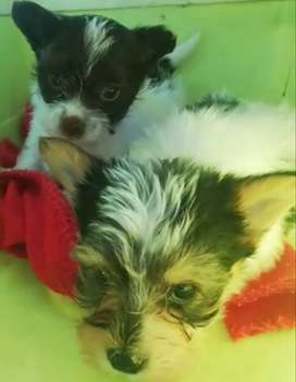 Exotic Yorkshire Terrier puppies
