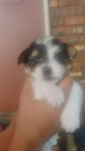 Biewer yorkie for sale
