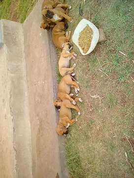 Small puppies (Boxer) R 1500 each