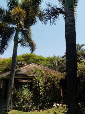 2 X Palm Trees for sale