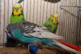 попугай - волнистый выставочный чех