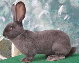Продам кроликов породы голубой великан