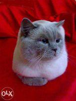 Шотландский кот , вязка