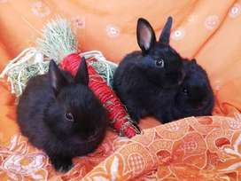 Netherlands dwarf rabbits