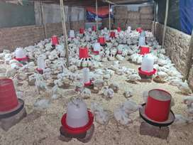 1000 Broiler Chickens ready to go! Weight=2.5kgs on average @ R50 each