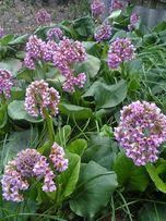 Бадан толстолистный — Bergenia crassifolia