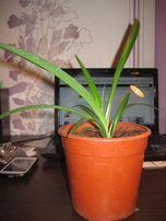 хлорофитум очиститель воздуха/комнатное растение/кімнатна рослина
