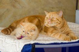Экзотический короткошерстный кот приглашает на вязку!