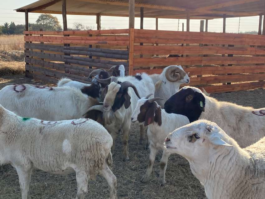 BigBoy Sheep & Goats rams Available 0