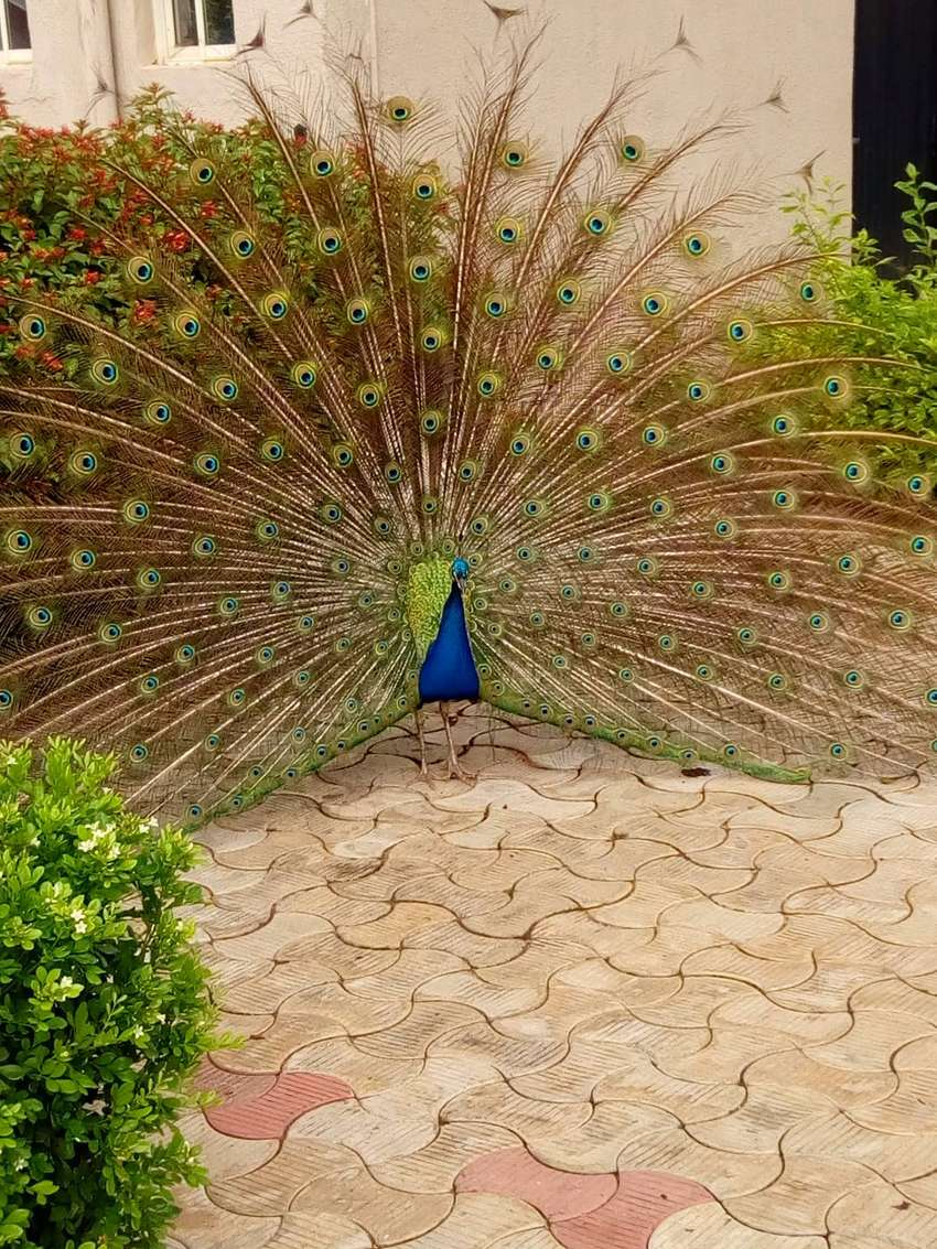 Peafowls (Peacock and Peahen) 0