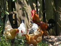 Image of Ross 308 Broiler and other Chickens for sale