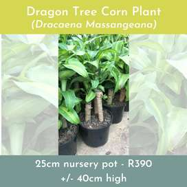 Dragon Trees for indoor plants