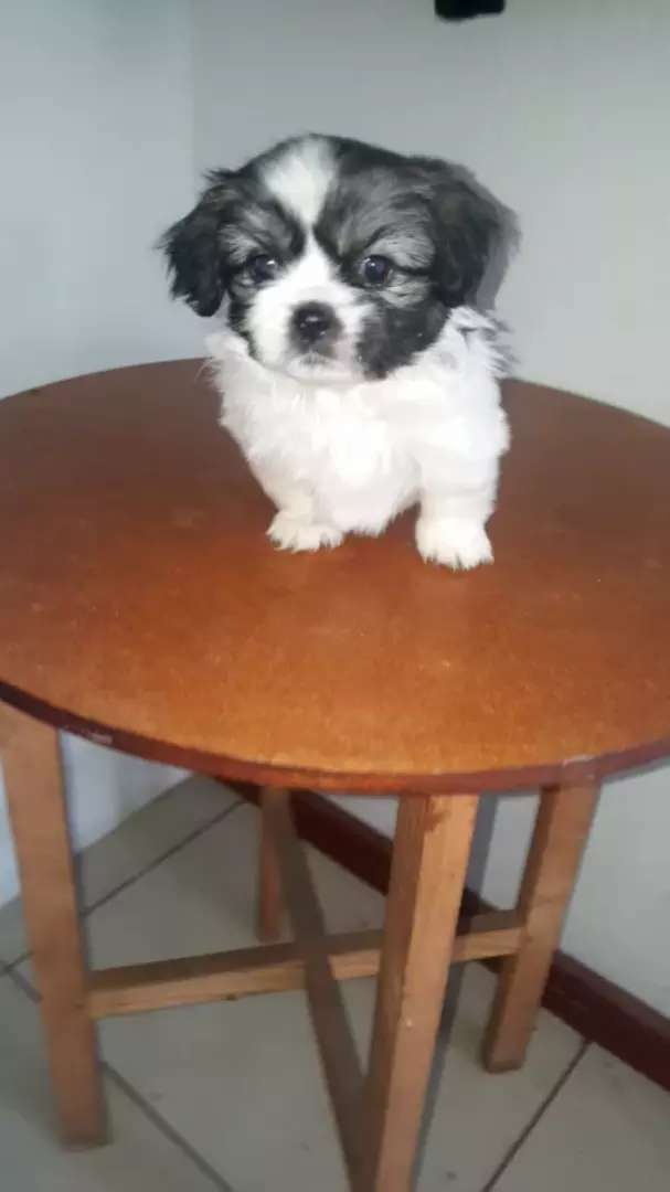 Pekingese puppies for sale 0