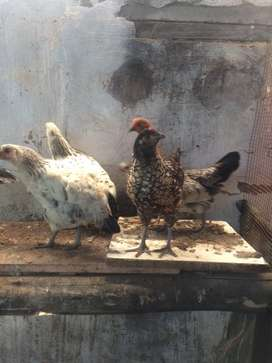 Zulu chickens for sale