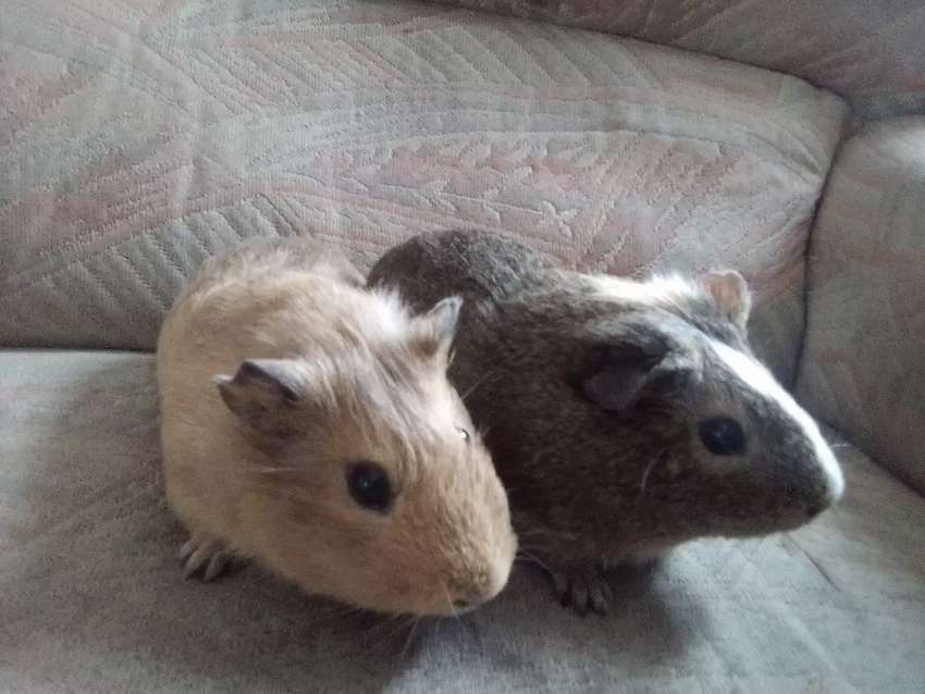 guinea pigs for sale 0