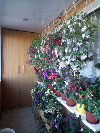 Продам комнатные растения Ахименесы