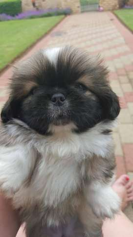 Adorable  Pekingese Pups