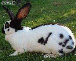 króliki belgijski olbrzym szare ,białe i srokacze,z rodowodem