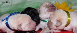 Клубные щенки Лабрадора ретривера