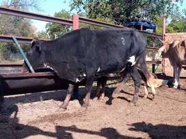 Nguni cow - healthy and well