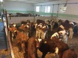 Cieleta byczki cielaki naturalne mleko w proszku nie powoduje biegunek