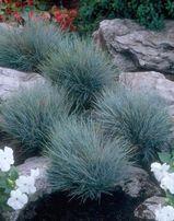 Овсянница-декоративная невысокая трава шаровидной формы