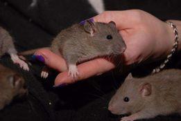Крысы, крыса, ручные декоративные крысята