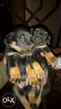 Rottweilers puppies for sale 25k 0