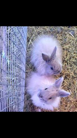 Jersey Wool Bunnies for sale!!