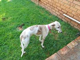 Whippet togood home