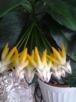 Хойя Мультифлора,жесткий лист,цветет круглый год,цветы в виде салюта.