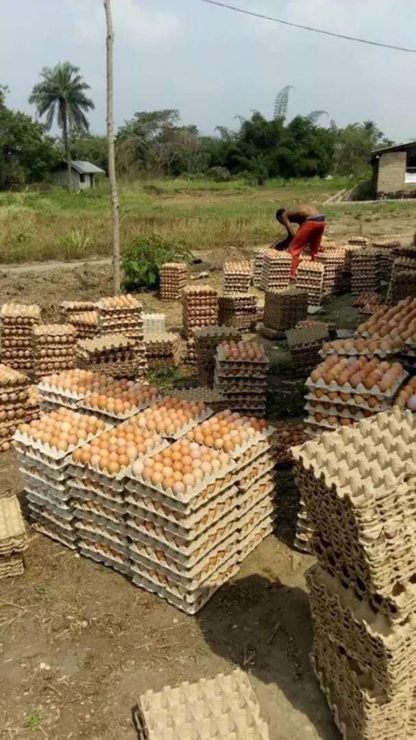 Fresh eggs available for sale 0
