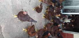 Pullets for sale in Meyerton