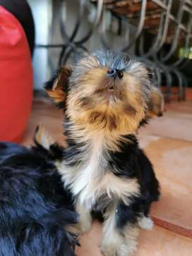 YORKIE / YORKSHIRE TERRIER PUPPIES