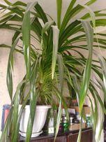 Панданус ( винтовая пальма)