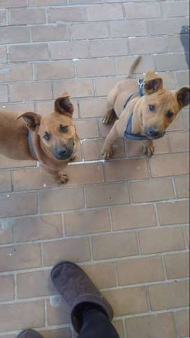 Selling sibling dogs