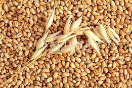 Пшеница для проращивания