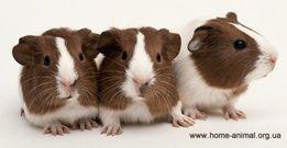 Разнообразные морские Свинки!