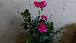 Каланхоэ каланхое лекарственное цветок