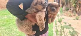 Lovely Brown Chow chow pup for sale