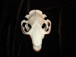 настоящий череп бобра