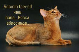 Абиссинский кот Вязка