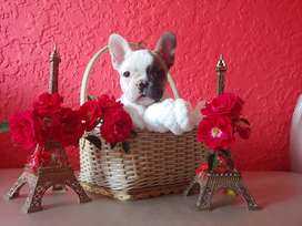 Kusa registered French Bulldog puppies available