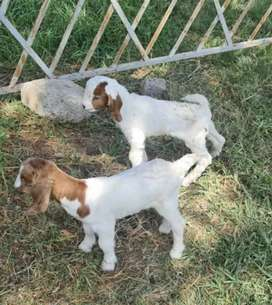 Boar goat baby for sale