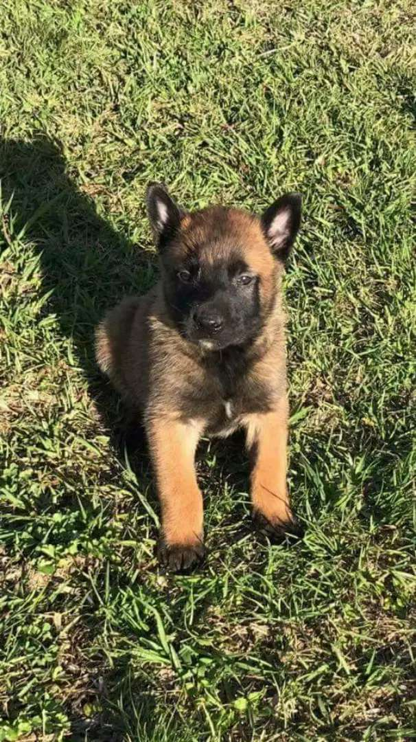 Malinos puppies available 0