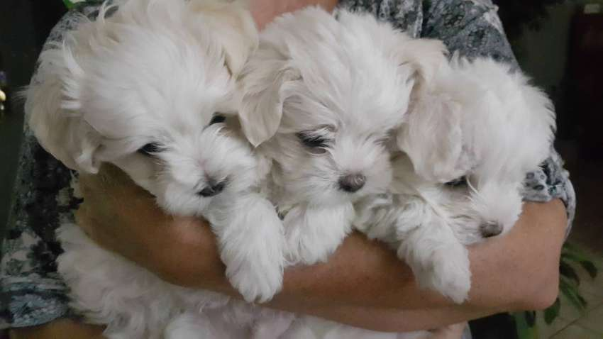Morkie puppies for sale. 0