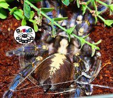 Самка паука птицееда с доставкой Poecilotheria metallica молодая 4 см