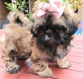 Registered Shih -Tzu Puppy available and ready to go!