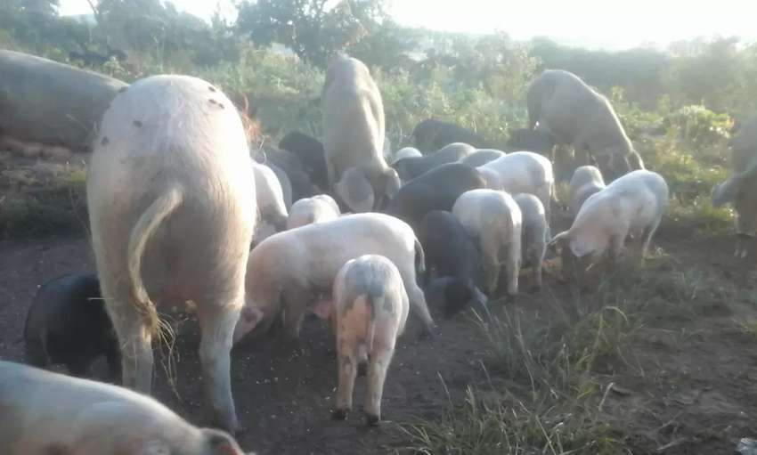 31 pigs all for sale @ R15 500 0